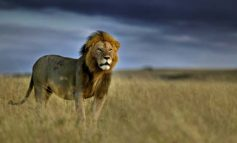 Breeding Cruelty - How Tourism is Killing Africa's Lions