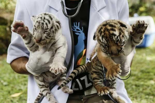 New Born Bengal Tiger Cubs Bali Zoo
